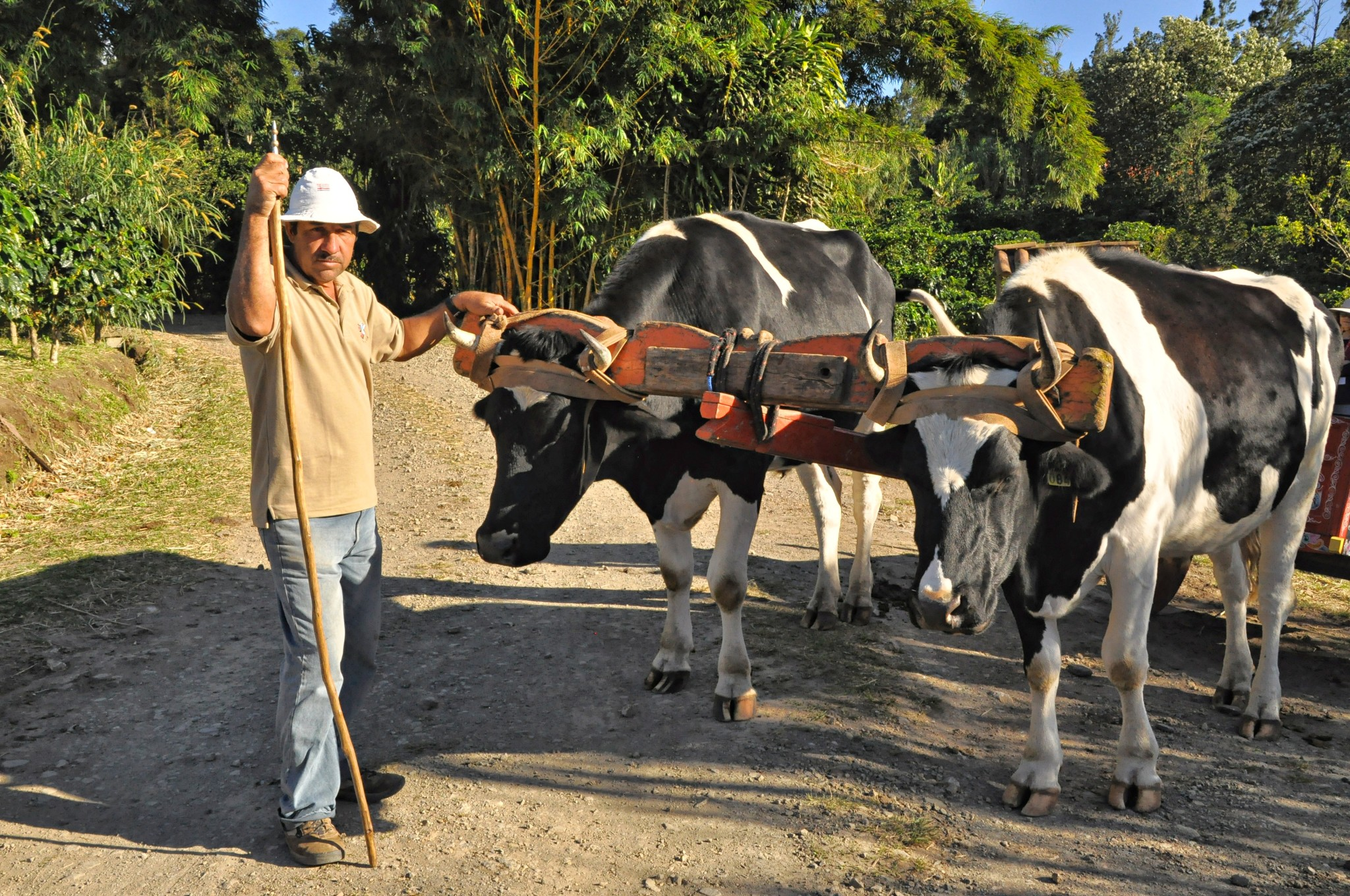 A Costa Rican man with his oxen and ox cart