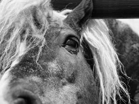 Balkan horse