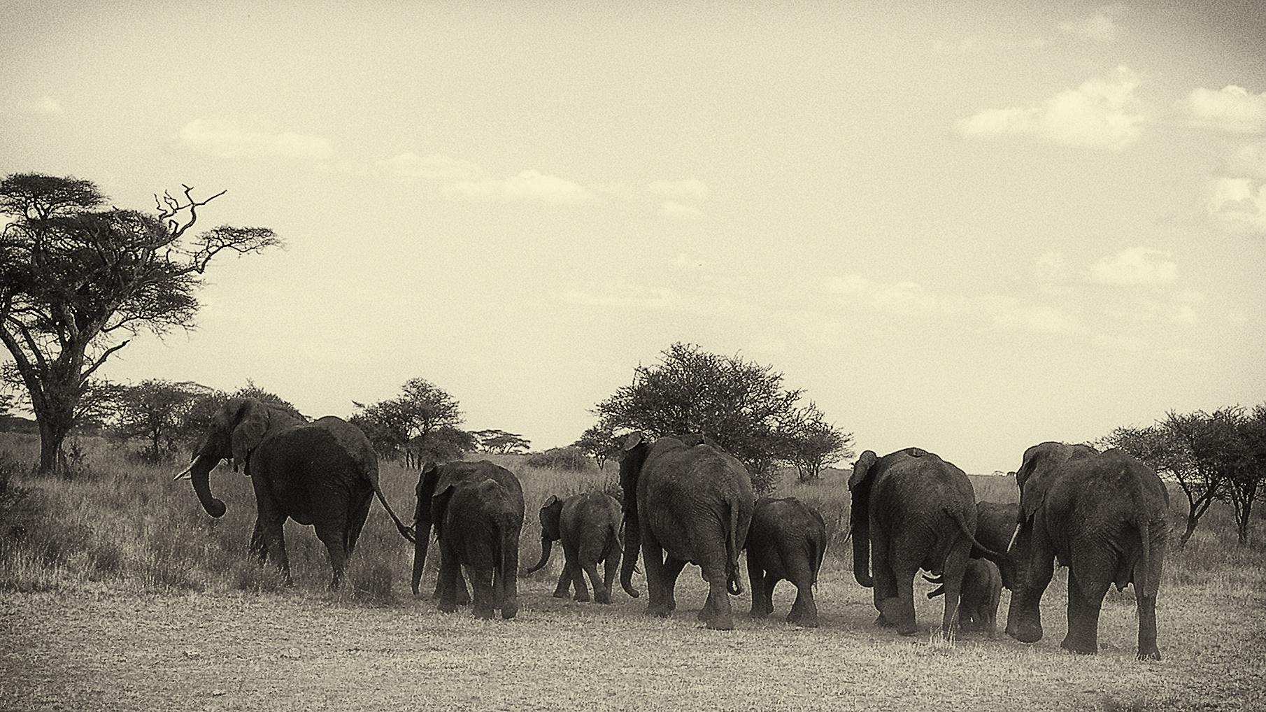 Elephants of Tanzania