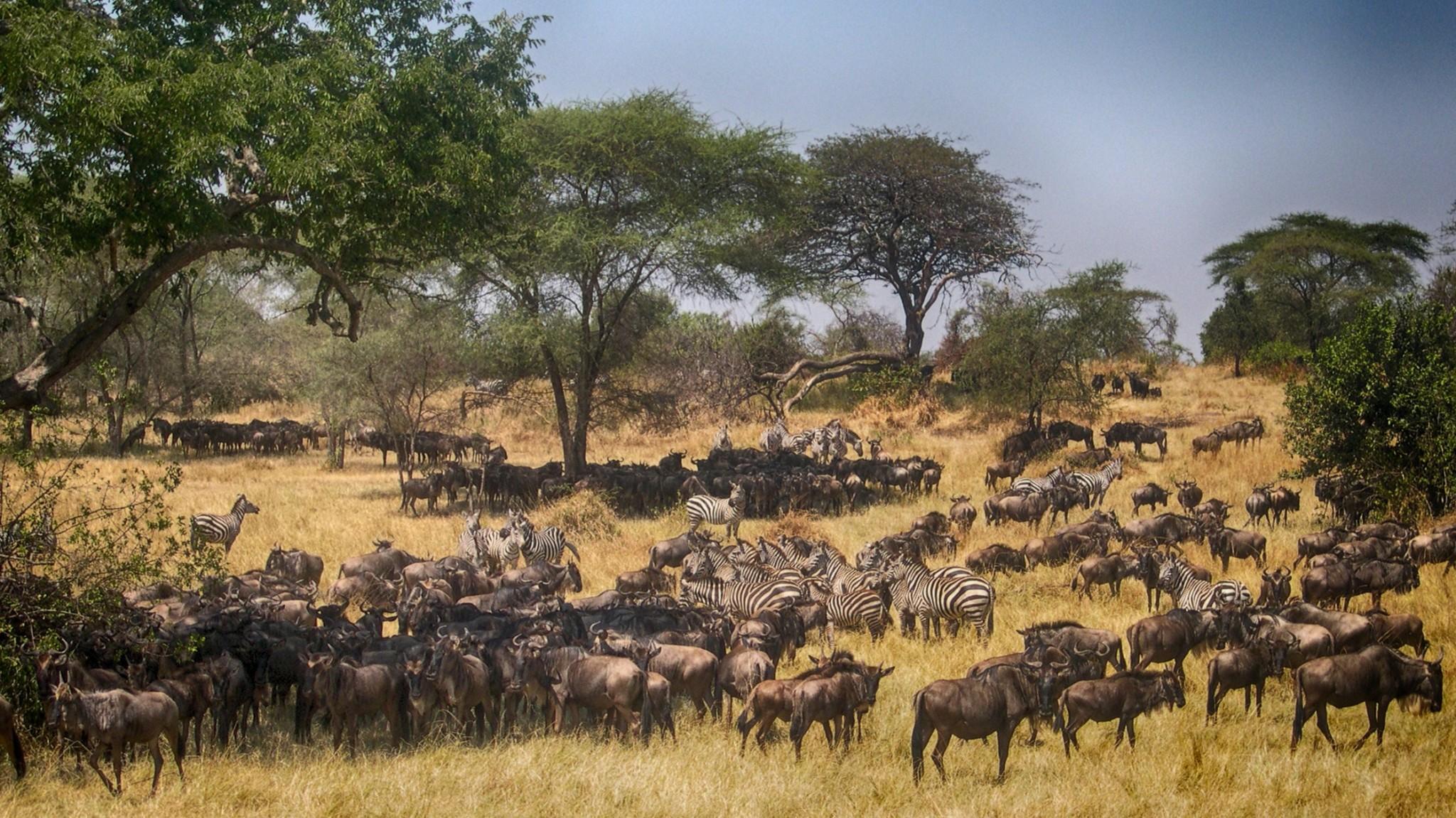 Migrating zebras and wildebeest in Tanzania