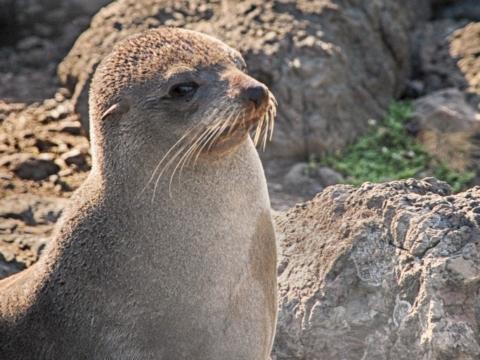 Fur seal in Cape Palliser, New Zealand