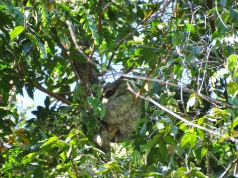 Sloth in Costa Rica