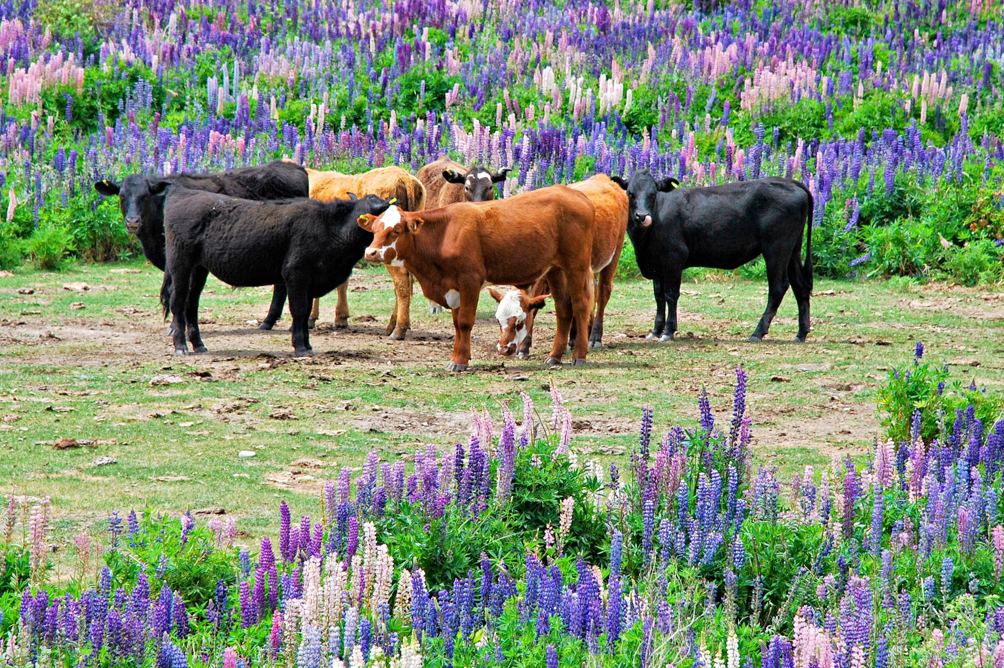 Cows in a field of wild lupins in New Zealand