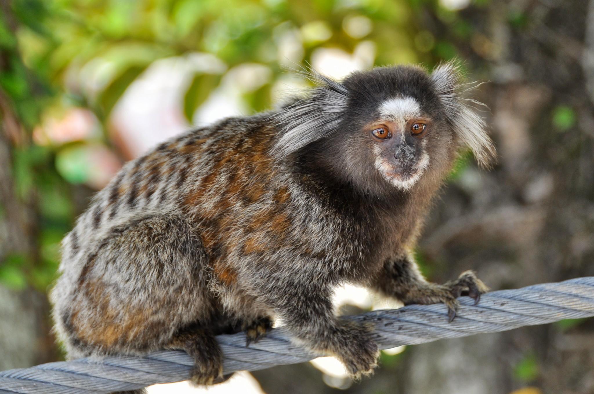 Marmoset monkey at the Sugarloaf Mountain