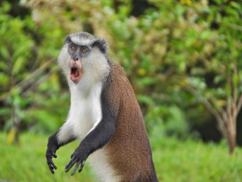 Mona monkey in Grenada