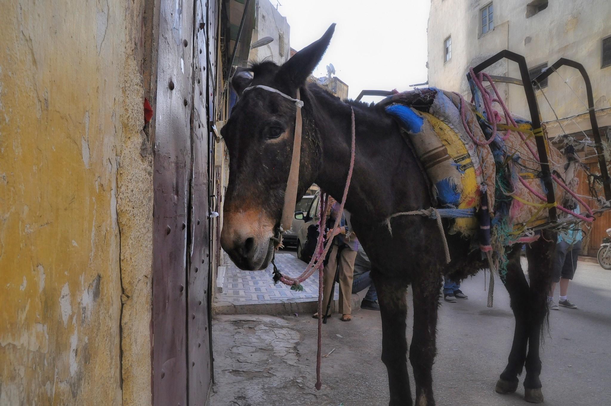 Working donkey in Fez, Morocco