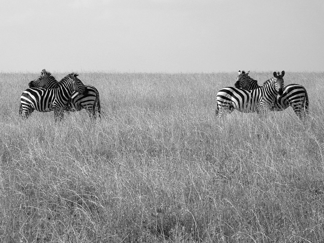 Zebras at the Serengeti National Park in Tanzania